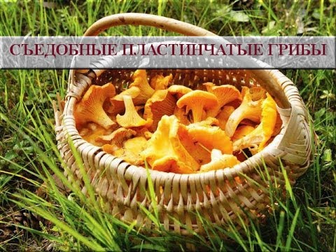 съедобные грибы фото рядовка