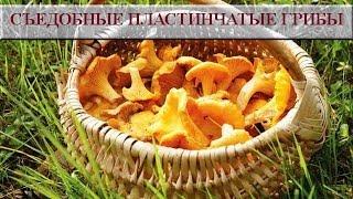 Съедобные пластинчатые грибы. Съедобные грибы фото и названия