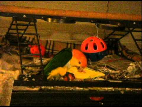My White Bellied Caique and Lutino Lovebird chew, play and wrestle match  #1