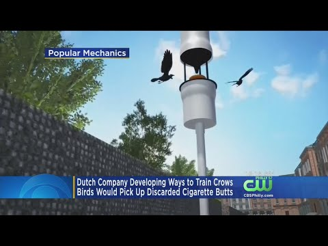 Dutch Company Developing Ways To Train Crows