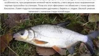 Фото и описание рыбы Подуст.