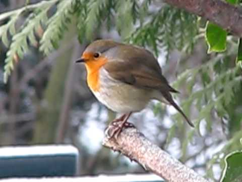 merry christmas from robin red breast in my winter garden birds uk - Is Red Robin Open On Christmas