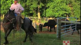 Working Cowboys and Cattle