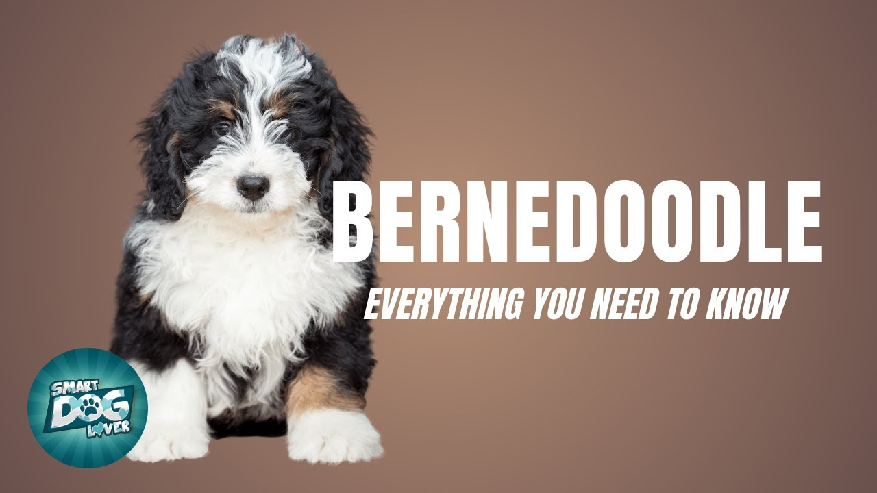 Bernedoodle Dog Breed Guide: What People Love About The Bernedoodle | Dogs 101