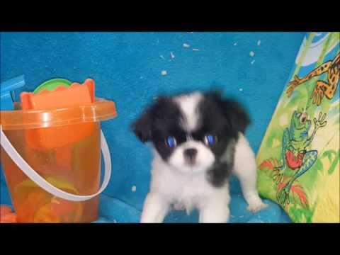FEMALE JAPANESE CHIN PUPPY