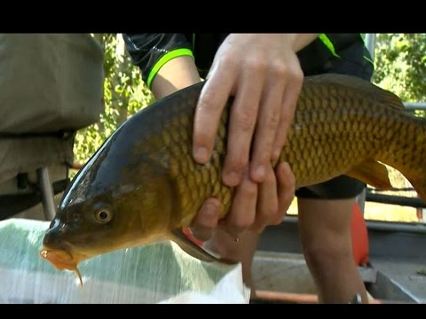 Using electrofishing to remove carp for the benefit of native fish in the Ovens River, Victoria.