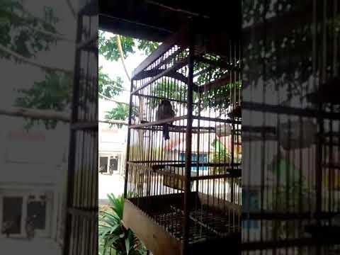 Burung Termahal Di Dunia Part 1