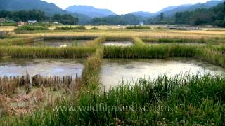 Paddy cum Fish Farming in Ziro Valley