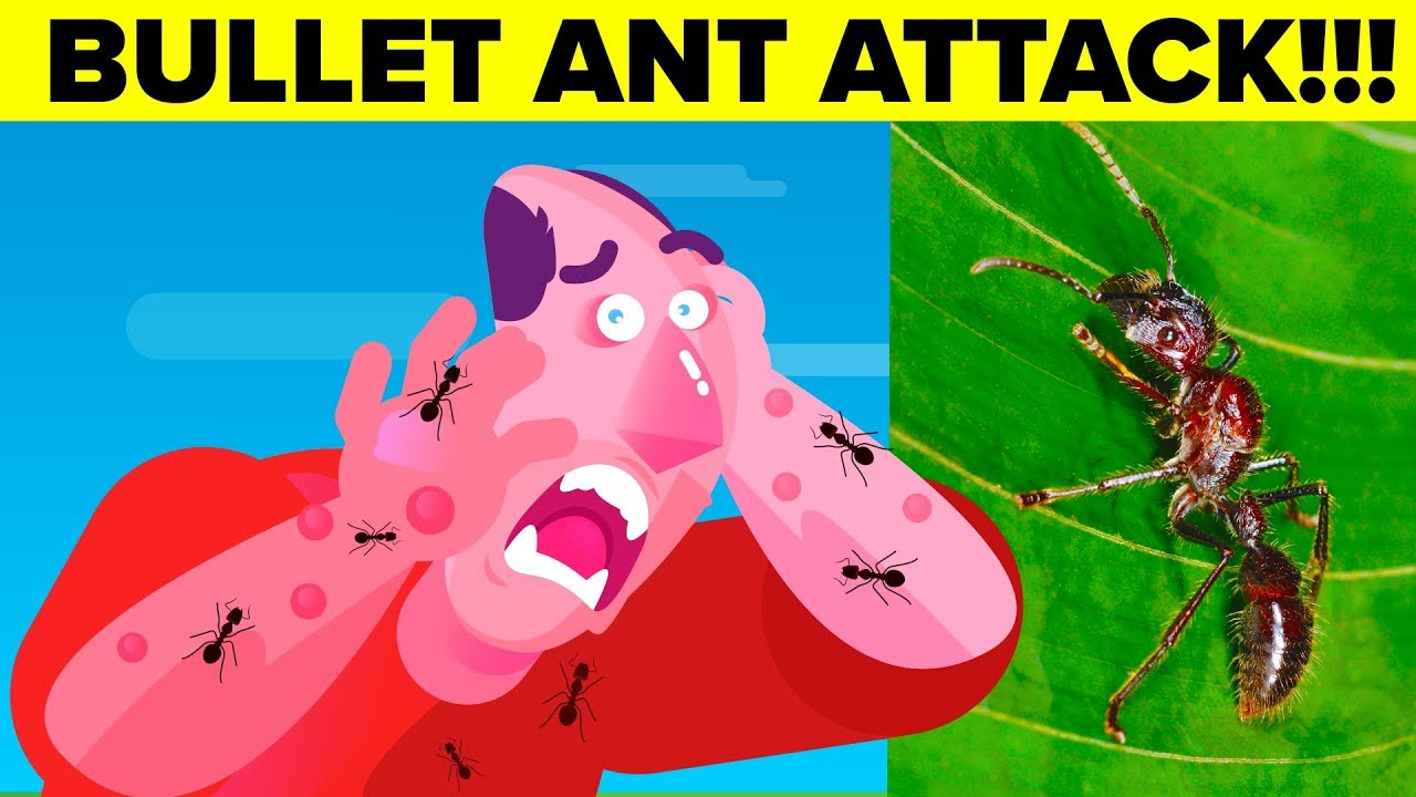 Most Painful Insect Bite A Human Can Experience - Bullet Ants