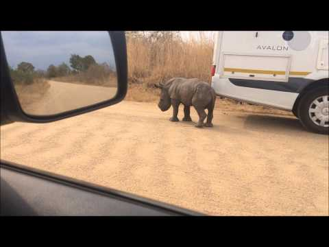 Baby rhino orphaned by poachers in Kruger National Park - on safari
