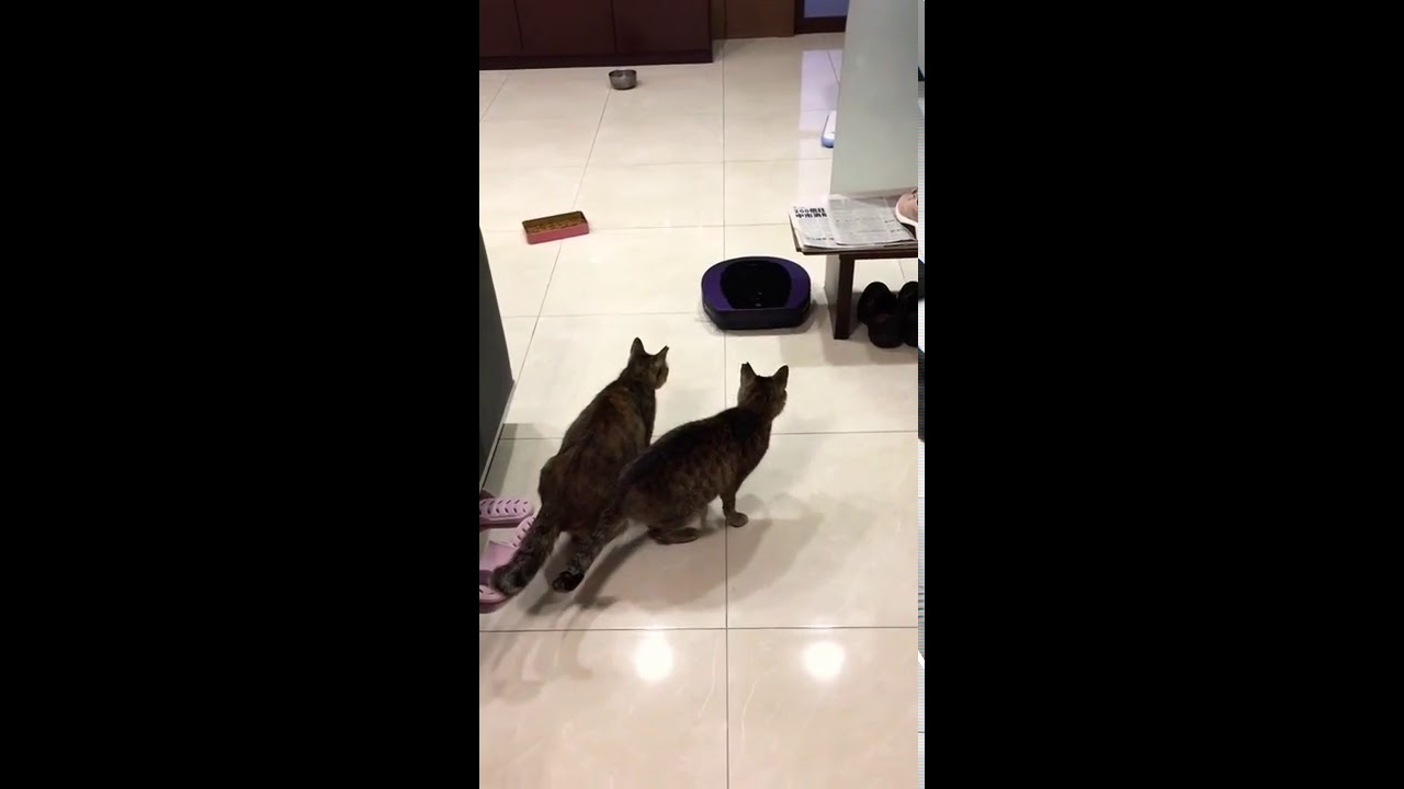 怕掃地機器人的貓 - YouTube