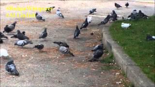 Pigeons In Toronto 'budgie Whisperer'