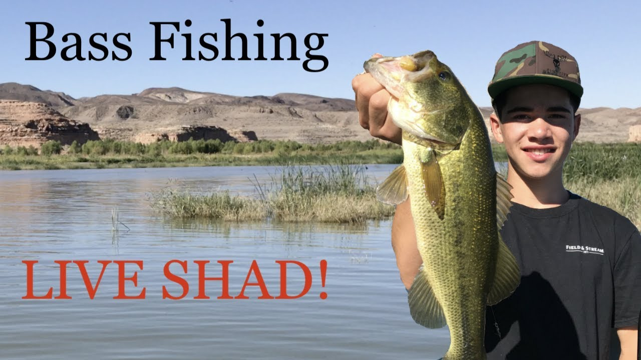 Bass fishing with live bait at lake mead large small for Bass fishing with live bait