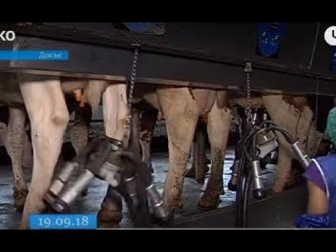 ТРК ВіККА: За рік молоко на Черкащині здорожчало на 25%