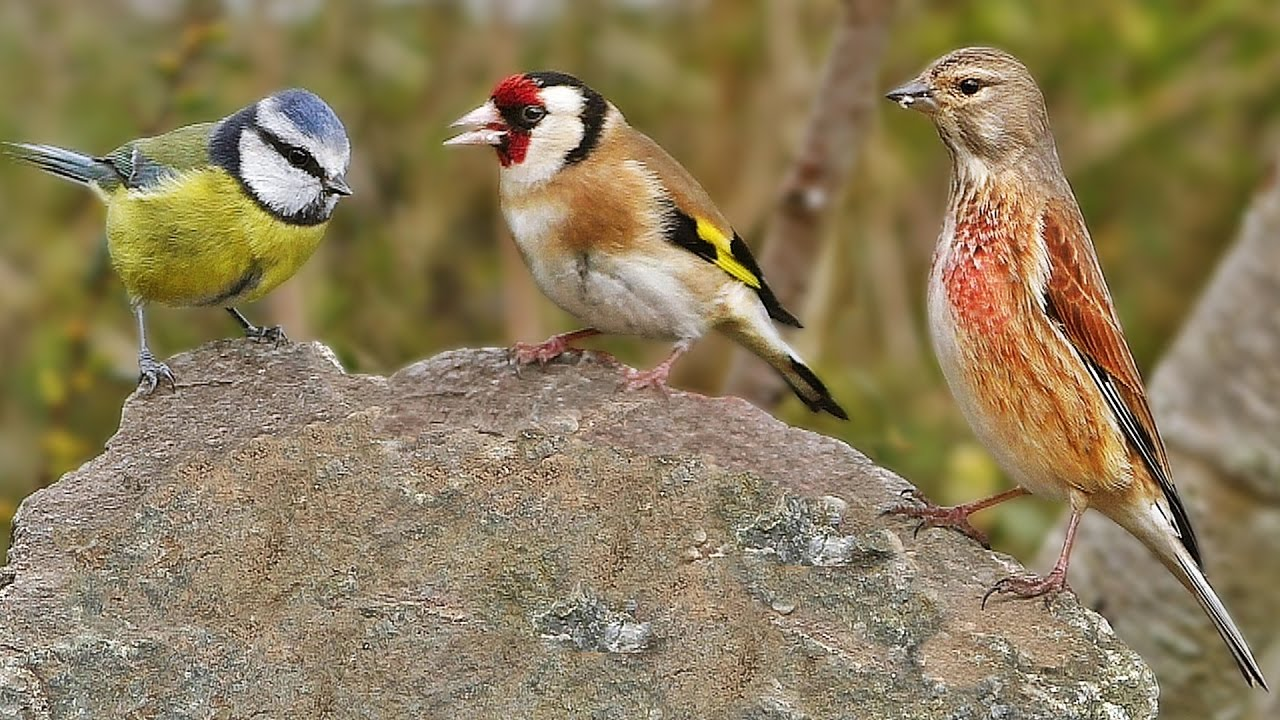 Garden Birds at Greystone Rock - Bullfinch, Goldfinch. Robin, Linnet, Blue  Tit