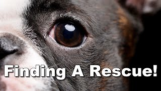 How To Find A Boston Terrier Rescue  Complete List
