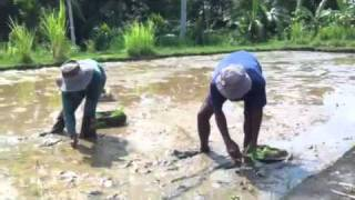 Planting the rice in Bali