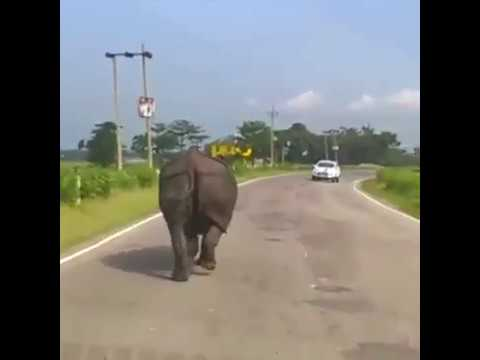 Angry rhino attacking all tourists vehicles
