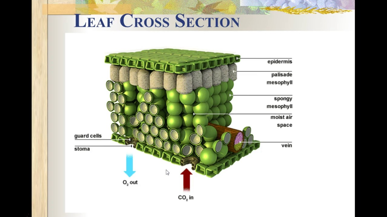 Leaf Cross Section - YouTube  Leaf Cross Sect...