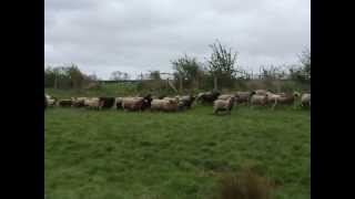 Deefer gathers the Shetland flock
