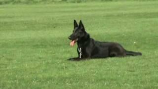 Dog Training - Www.facebook.co.uk/canisfidelislondon - Dan Bucur