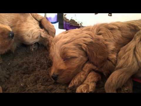 Mrs. Beasley's Petite Teddybear Goldendoodles 5 weeks old