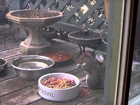 Squirrel Eating Dog Food