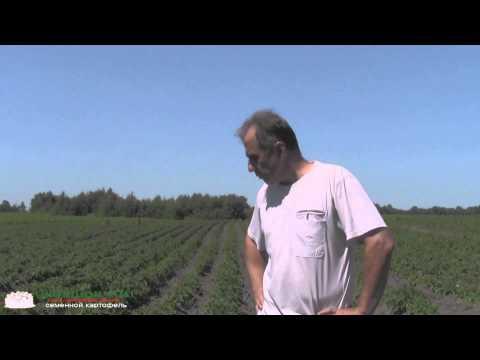 Посадка и окучивание картошки в Нидерландах. Sad-ok.com