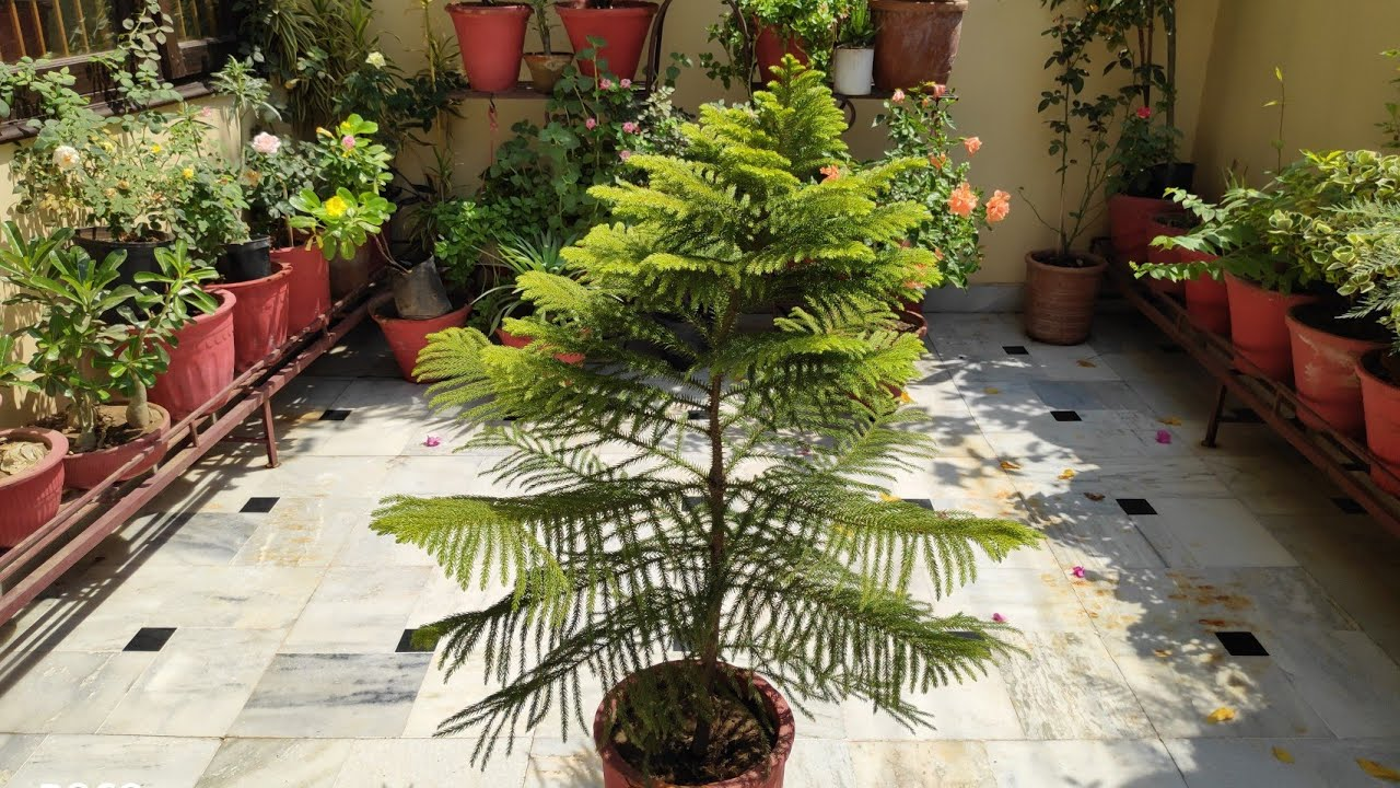 Araucaria Plant Care Christmas Tree Care Norfolk Island Plants