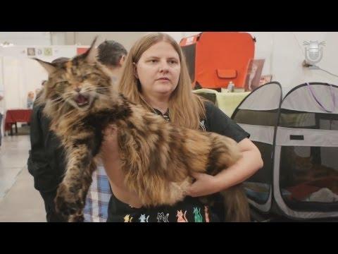 Największy I Najmniejszy Kot świata Youtube