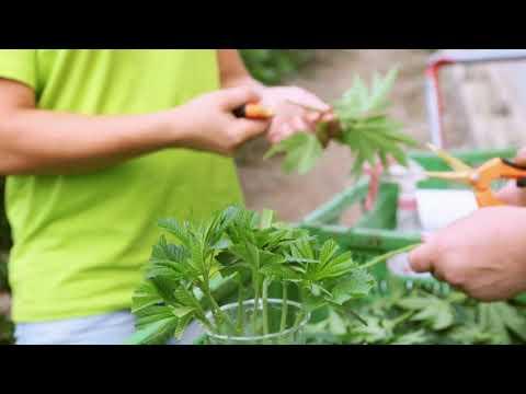 Cannabis oil, Swiss quality, certified organic (Bio-Suisse)