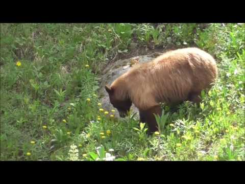 First Bear we  Seen in  Yellowstone