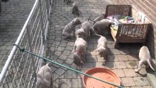 5,5 Week Old Weimaraner Puppies Doin' Their Thing