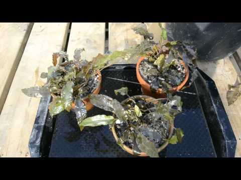 """Cryptocoryne wendtii """"Tropica"""" In Dirt"""