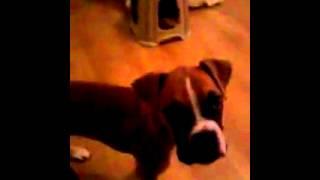 Yavru Boxer KÖpek EĞİtİmİ 1 ( 100 Günlük )