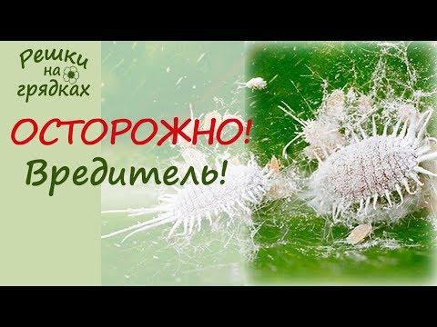 Мучнистый червец - злостный вредитель комнатных растений! Как избавиться от мучнистого червеца