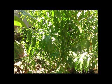 Как вырастить авокадо -
