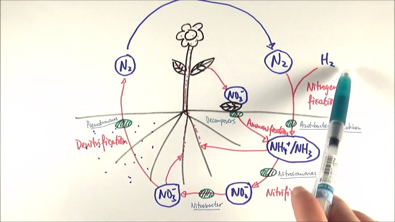 a2 biology nitrogen cycle ocr a chapter 23 3  [ 1280 x 720 Pixel ]