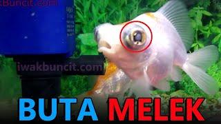 Ikan laga sakit mata dan cara nak ubatinya// BETTA fish.