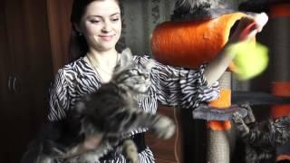 ЛИРИКУМ АгаХан Мордович (3 мес)  крупный котик мейн-кун
