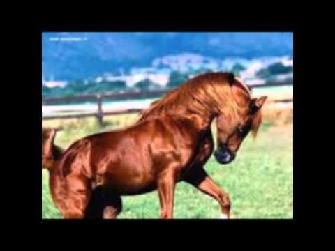 Video con foto di cavalli arabi youtube for Immagini cavalli stilizzati