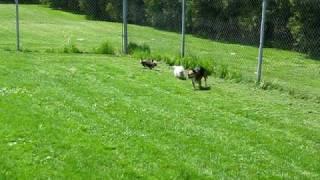 Yorkie Vs Beagle
