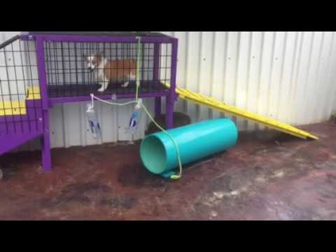 Augie (auggie), a Toy Aussie & Corgi cross playing at Lindsey's Aussies 5/23/16