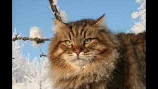 Мое слайд-шоу сибирские коты.