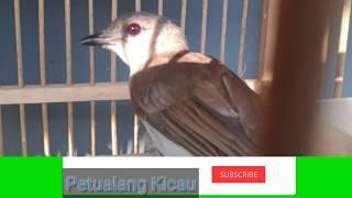 Gambar cover Suara pikat Burung Kancilan Bakau