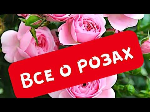 Розы в саду. Список лучших сортов роз