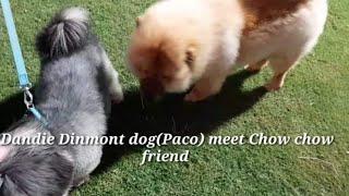 #DANDIE DINMONT Dog#Paco meet Chow chow # watching movie Buck #esp10