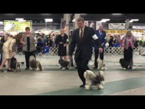 2017 03 18 IMG 4401 Kentuckiana Cluster Lowchen National Best in Breed No 29