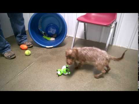 Meet Schatzi a Mixed Breed Small (under 24 lbs fully grown) currently available for adoption at Pet