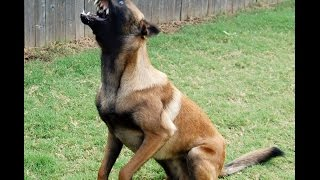 Belgian Malinois Training - Working With Max